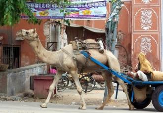 Camel at Surajpol.