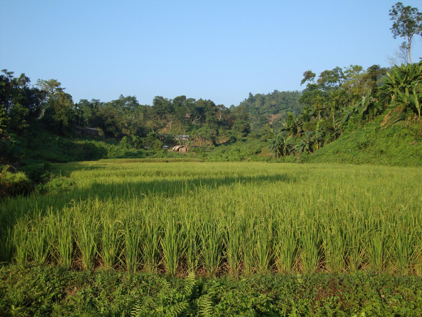 A paddy field.