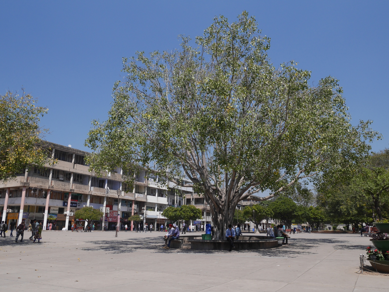 A pipal tree in Sector 17, Chandigarh.