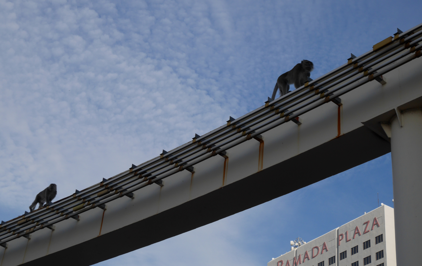 Long-tailed macaques (Macaca fascicularis) stalking along the elevated trackway of the monorail.